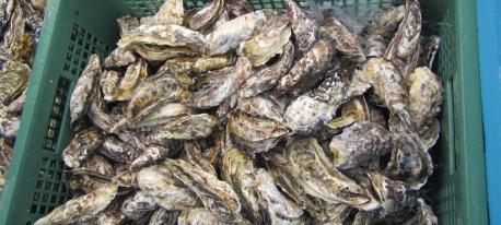 仮屋湾産養殖カキの出荷自主規制について