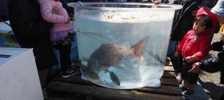 (真鯛祭り)特大真鯛重量当てクイズ正解発表♪