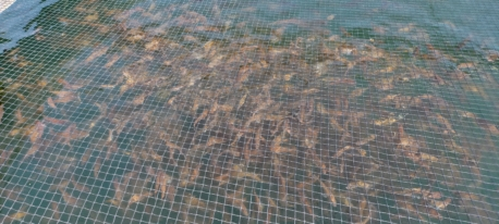 真鯛稚魚の搬入